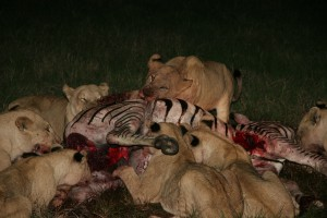 Lions feast on a zebra kill © Jeffrey Sohn | Wikimedia Commons