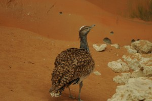 Male Houbara Bustard out for a walk © shankar s. | Flickr